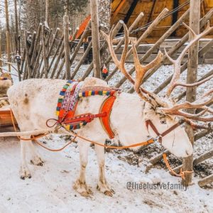Reindeer in Christmas harness in snow in Rovaniemi Finland