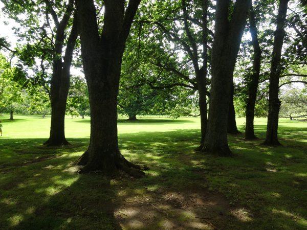 Cornwall Park Auckland trees photo