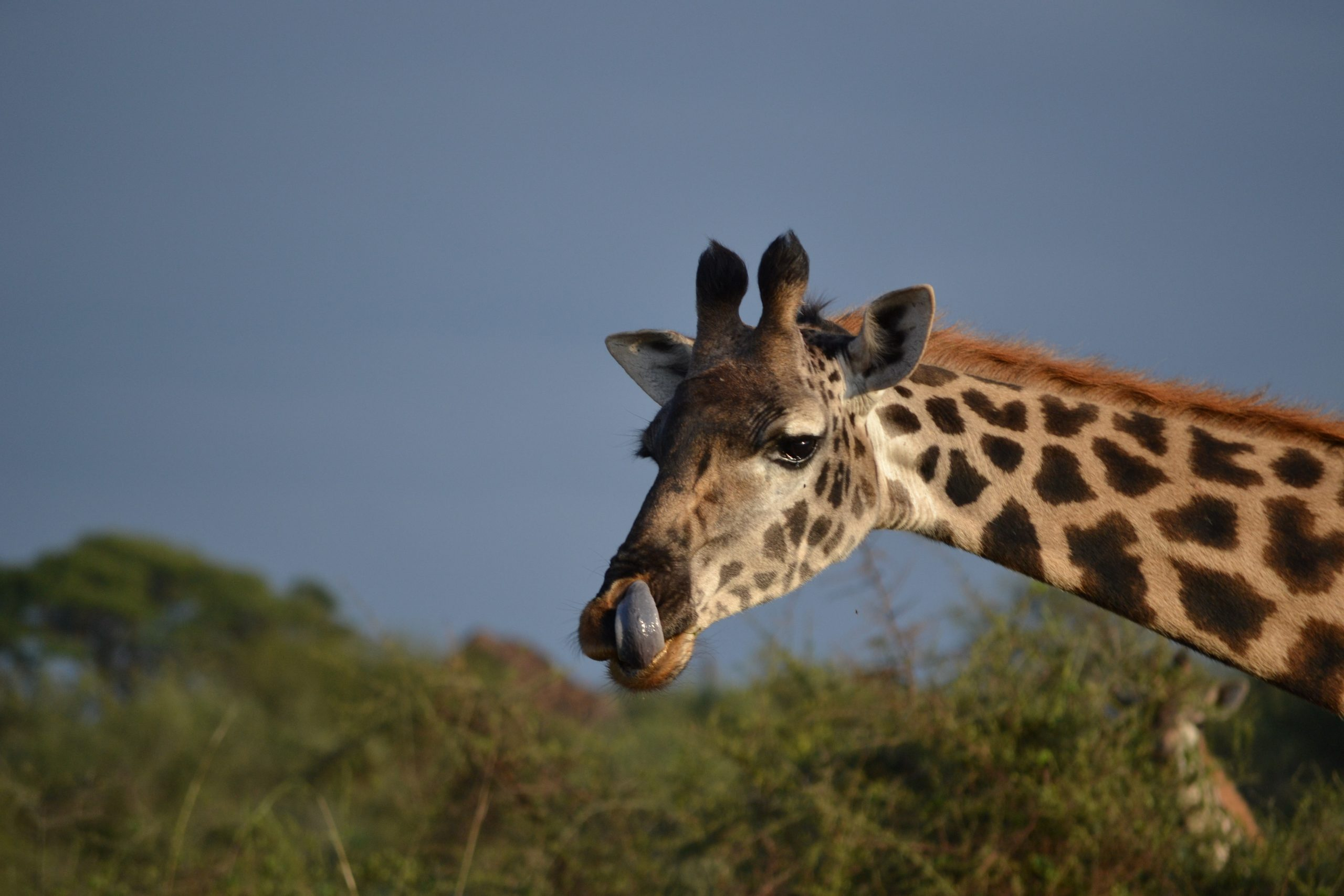 Close up of a giraffe's head and neck taken in Kenya