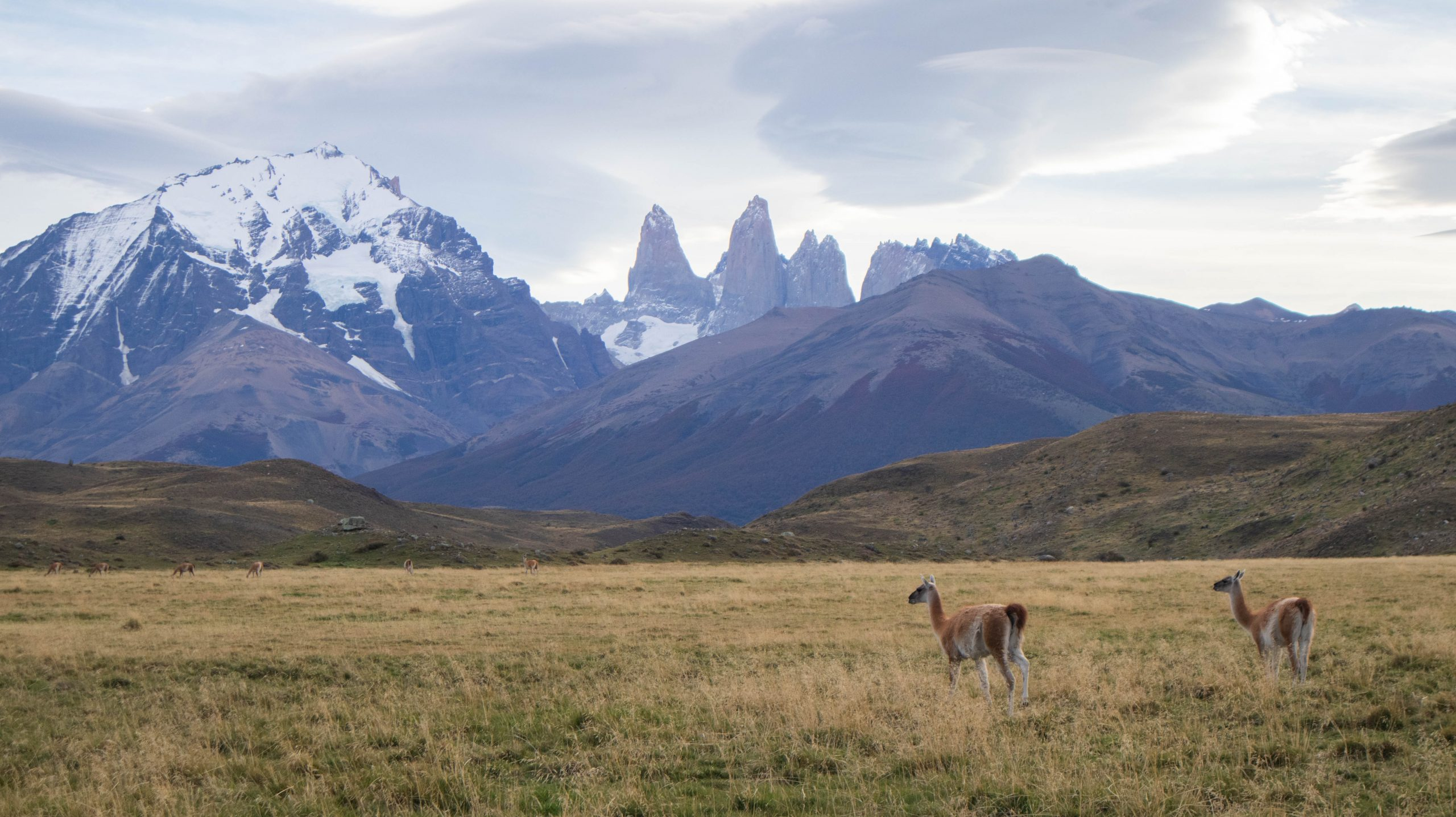 Guanacos on the Fauna Trail in Torres del Paine