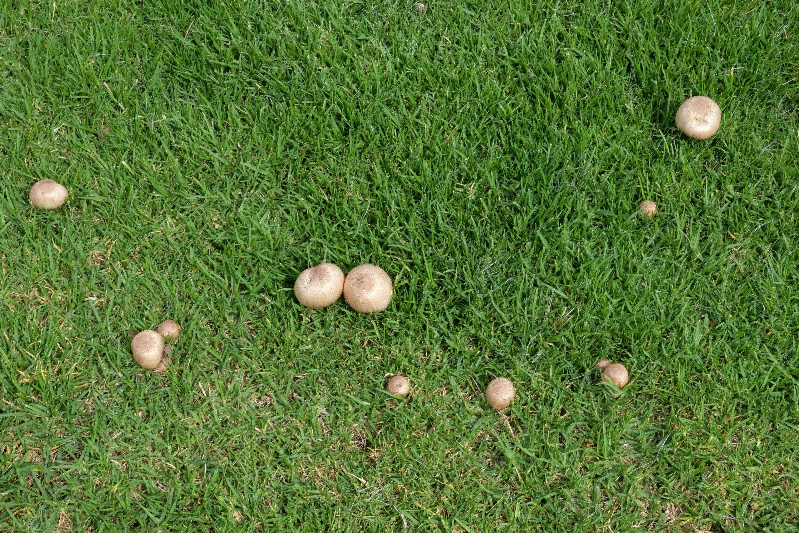 mushrooms on lawn from above