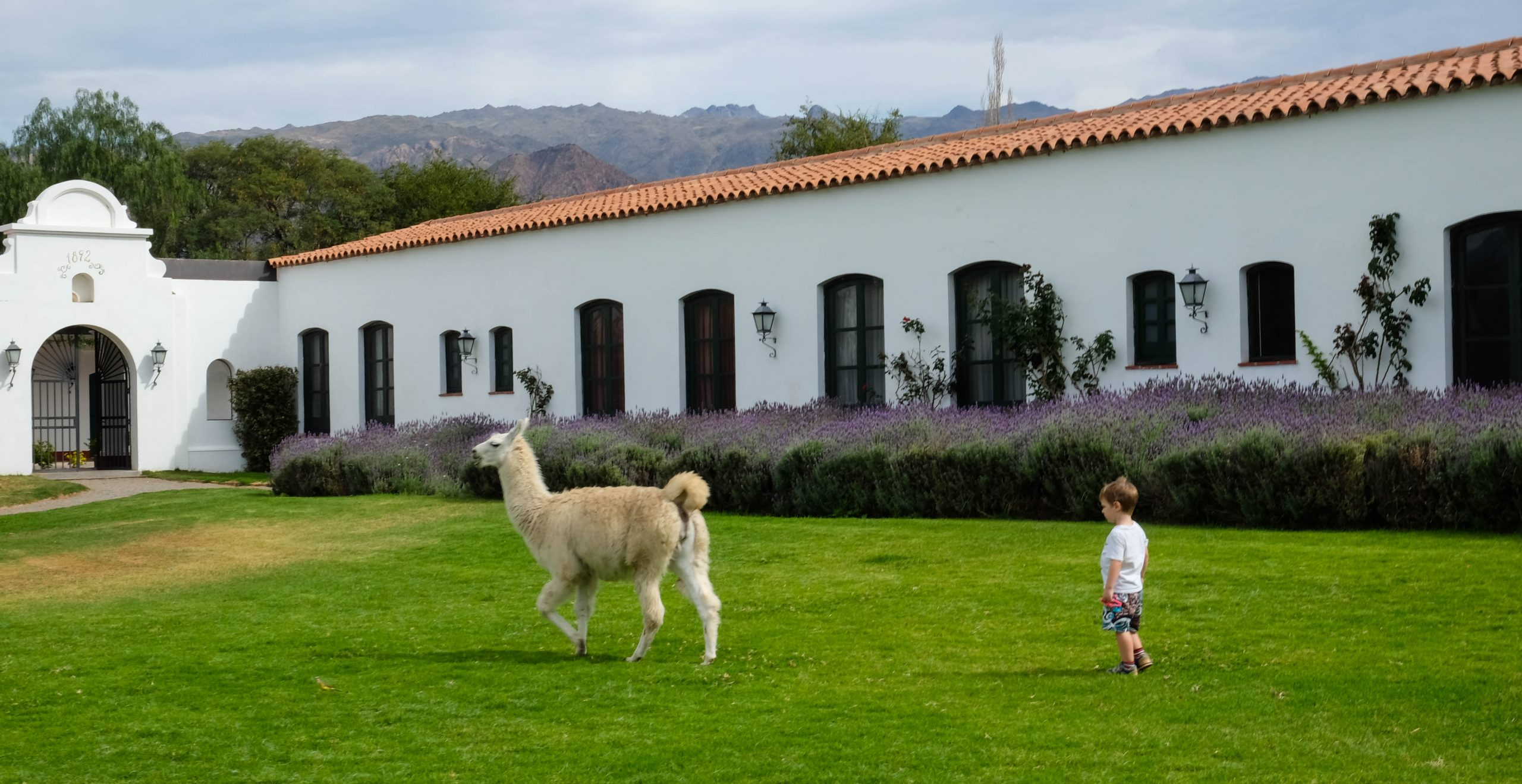 little boy following llama across a lawn