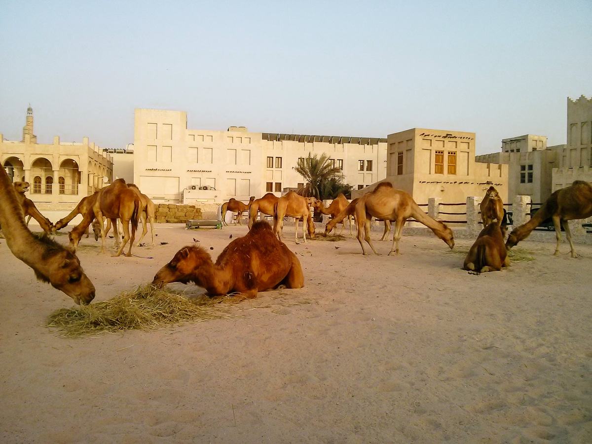 camels at Souq Waqif in Doha, Qatar