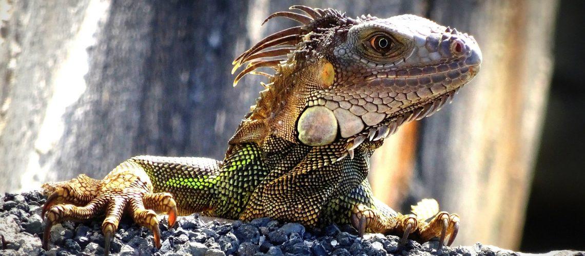 iguana-4835983_1920