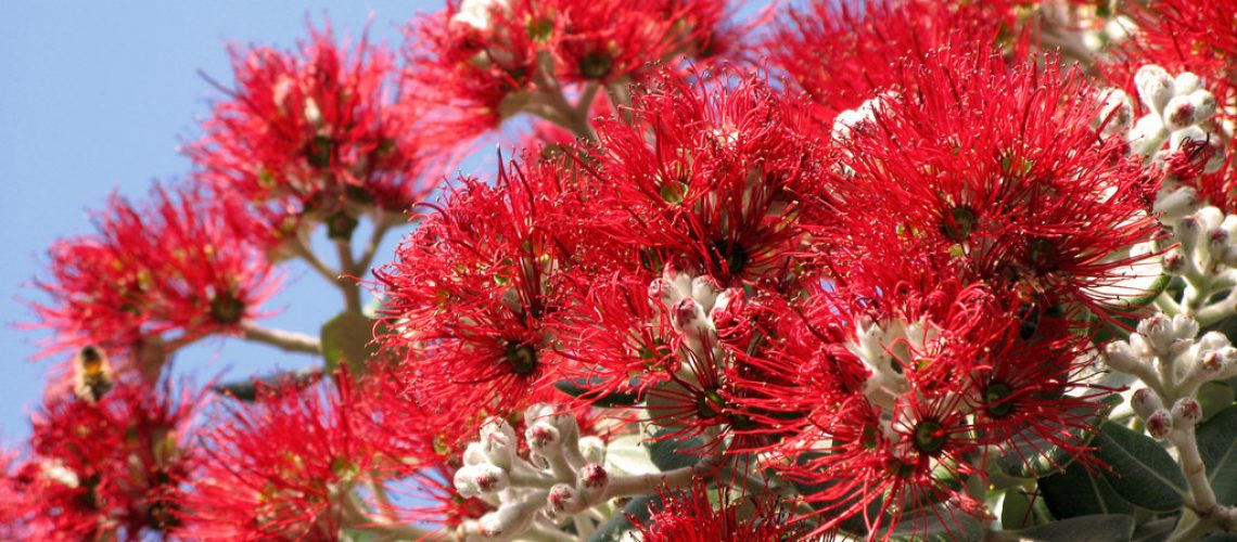 red flower trees of new zealand christmas tree